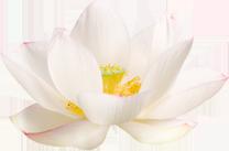 05-01 lotusbluete